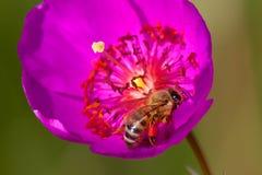 Menchia kwitnie z pszczołą, długim piętnem i anthers, Zdjęcie Royalty Free
