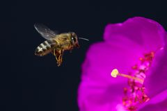 Menchia kwitnie z pszczołą, długim piętnem i anthers, Obraz Royalty Free