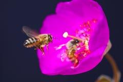 Menchia kwitnie z pszczołami, długim piętnem i anthers, Zdjęcia Royalty Free