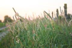 Menchia kwitnie z purpurowymi żyłami na płatkach fotografia royalty free