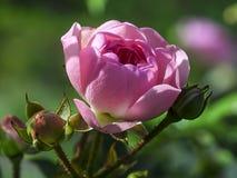 Menchia kwitnie z rozmytym tłem Fotografia Royalty Free