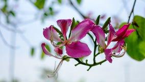 Menchia kwitnie zakulisowego podczas gdy Zdjęcie Royalty Free