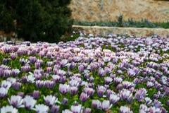 Menchia pączków pole chryzantem rośliny Obrazy Stock