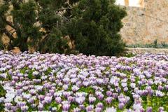 Menchia pączków pole chryzantem rośliny, kwiaty Fotografia Stock