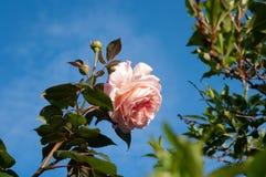 Menchia pączki z kopii przestrzenią i róża Fotografia Royalty Free