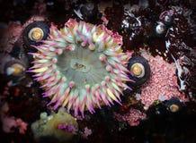 Menchia Przechylający Denny anemon w przypływu basenie fotografia royalty free
