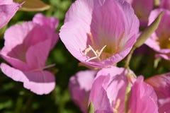 Menchia wyszczególniam kwiatów kwiatów pękać Zdjęcia Stock