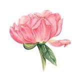 Menchie, łososiowej peoni akwareli botaniczna ilustracja odizolowywająca na białym tle Obraz Royalty Free