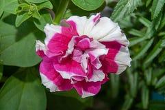 Menchie - biel róża w ogródzie na łóżku zdjęcia stock