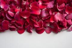 Menchie, czerwień i purpury, kwitną płatki na białym tle zdjęcia royalty free