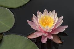 Menchie i żółta wodna leluja kwitną - nymphaea zdjęcia stock