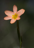 Menchie i żółty dziki kwiat Obraz Stock