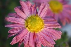 Menchie i żółty kwiatu zbliżenie zdjęcia stock