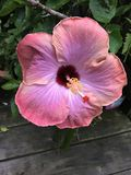 Menchie i bez barwiący poślubnika kwiat Zdjęcie Stock