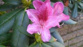 Menchie i czerwony kwiat z ciemnymi liśćmi Zdjęcia Stock