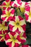 Menchie i kolor żółty Paskowali petunia kwiaty Obraz Royalty Free