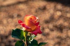 Menchie i pomarańcze róża zdjęcia royalty free