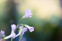Menchie i purpurowi kwiaty - Akcyjny wizerunek Obraz Royalty Free