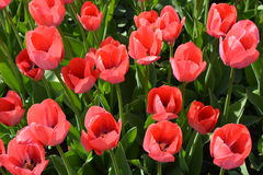 Menchie i tulipany na łóżku Zdjęcie Royalty Free