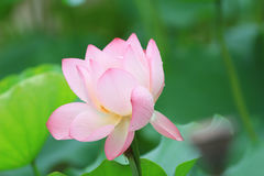 menchie Lotus up i zielony liścia zakończenie Obraz Royalty Free