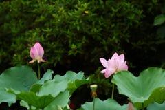 menchie Lotus up i zielony liścia zakończenie Zdjęcia Royalty Free