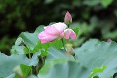 menchie Lotus up i zielony liścia zakończenie Obrazy Royalty Free