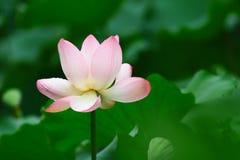 menchie Lotus up i zielony liścia zakończenie Zdjęcie Royalty Free