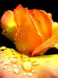 Menchie, makro- strzał na płatkach róże zdjęcia royalty free