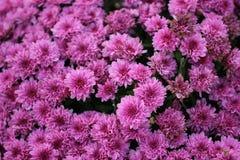 Menchie, purpurowego małego mum kwiatu makro- tło/ fotografia royalty free