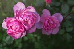 Menchie trzy róży pączkują pękać w kwiacie na zielonym krzaku zdjęcia royalty free
