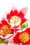 menchie trzy tulipanu Obraz Royalty Free