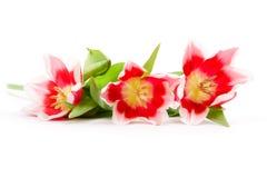 menchie trzy tulipanu Zdjęcia Royalty Free