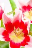 menchie trzy tulipanu Zdjęcia Stock