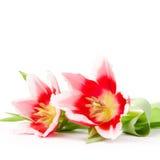 menchie trzy tulipanu Obrazy Stock