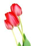 menchie trzy tulipanu obrazy royalty free