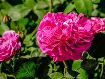 Menchie w uprawiają ogródek zamknięty up Obraz Stock