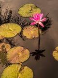 Menchie waterlily i leluja ochraniacze odbija w wodzie Fotografia Stock