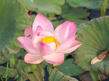 Menchie, waterlily lotosowy kwiat lub Zdjęcia Royalty Free