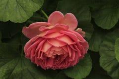 Menchie wzrastali w kwiacie Fotografia Stock