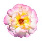 Menchii, bielu i koloru żółtego róża odizolowywająca na białym tle, Obraz Royalty Free