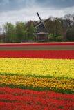 Menchii, czerwieni i pomarańcze tulipan, Obrazy Royalty Free