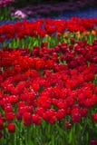 Menchii, czerwieni i pomarańcze tulipan, Zdjęcia Royalty Free