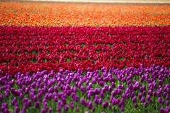 Menchii, czerwieni i pomarańcze tulipan, Fotografia Royalty Free
