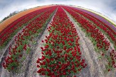 Menchii, czerwieni i pomarańcze tulipan, Zdjęcia Stock