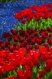 Menchii, czerwieni i pomarańcze tulipan, Zdjęcie Royalty Free