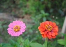 Menchii i czerwieni kwiaty kwitnie w ogródzie obraz royalty free