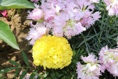 Menchii i koloru żółtego kwiaty kwitnęli w ogródzie Zdjęcie Royalty Free