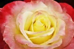 Menchii i koloru żółtego róża obraz stock