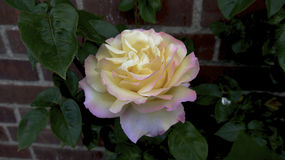 Menchii i koloru żółtego róża Obrazy Stock