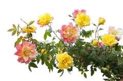 Menchii i koloru żółtego róży krzak Zdjęcia Stock